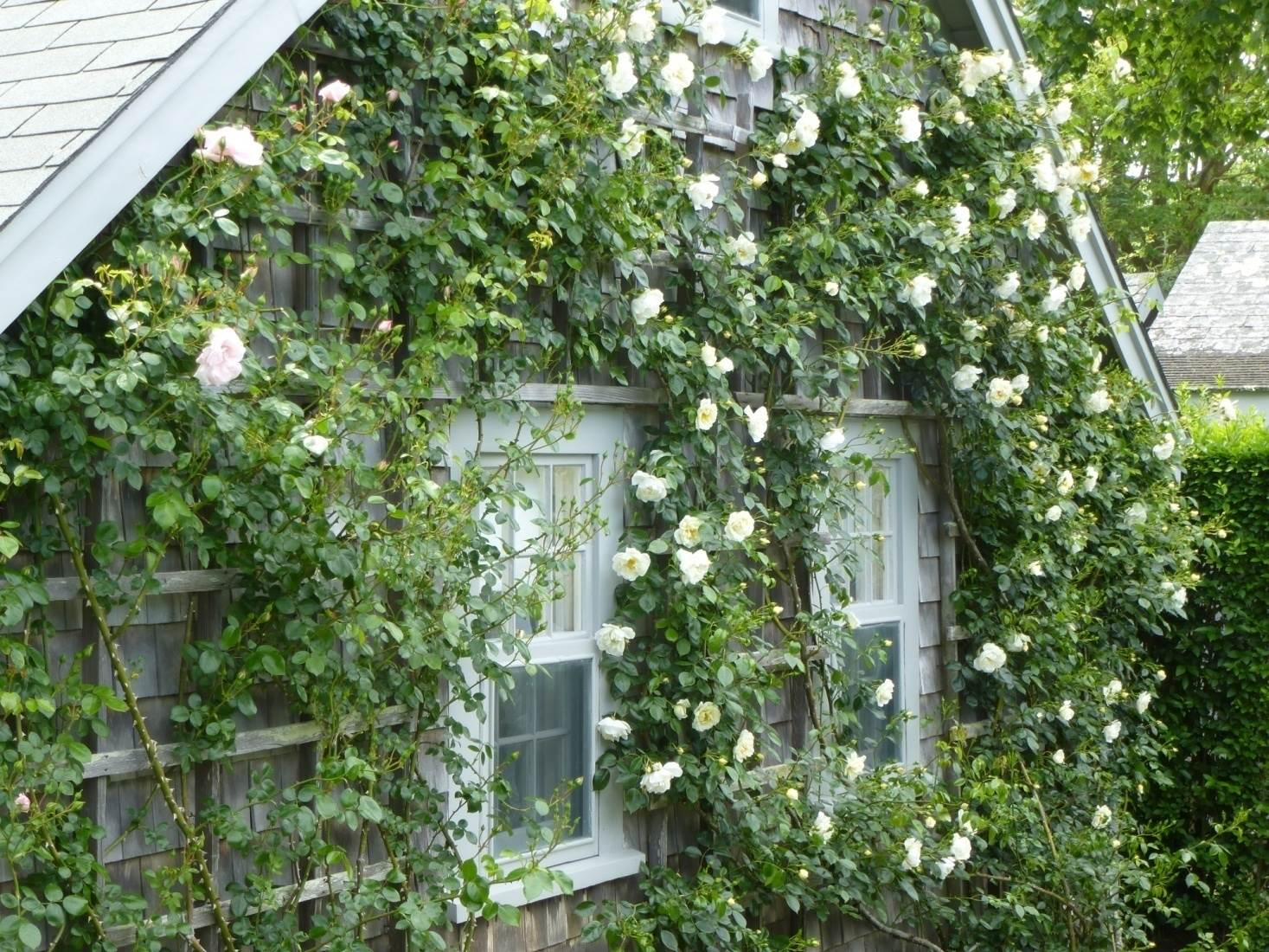 Zephirine Drouhin Climbing Rose getting started with climbing roses – asheville blue ridge